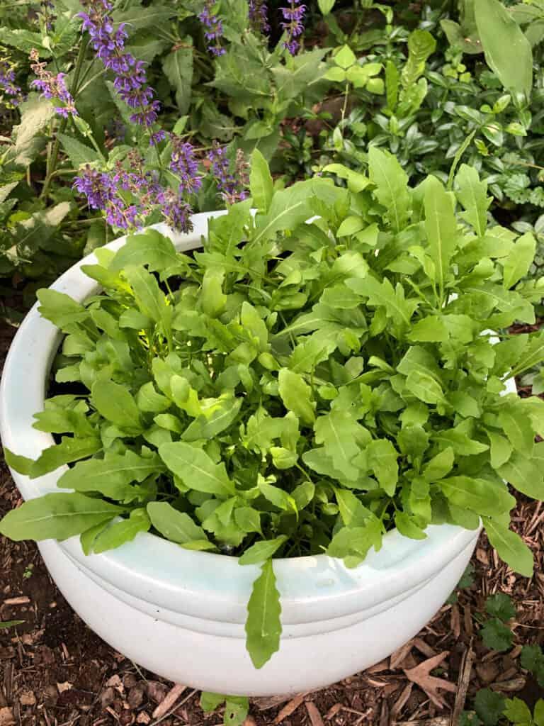 arugula growing in a pot