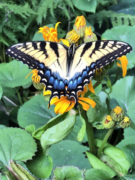 Swallowtail butterfly on Ligularia