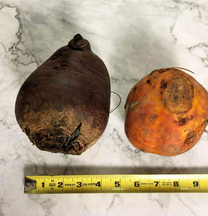 large uncut red and golden beet with measuring tape