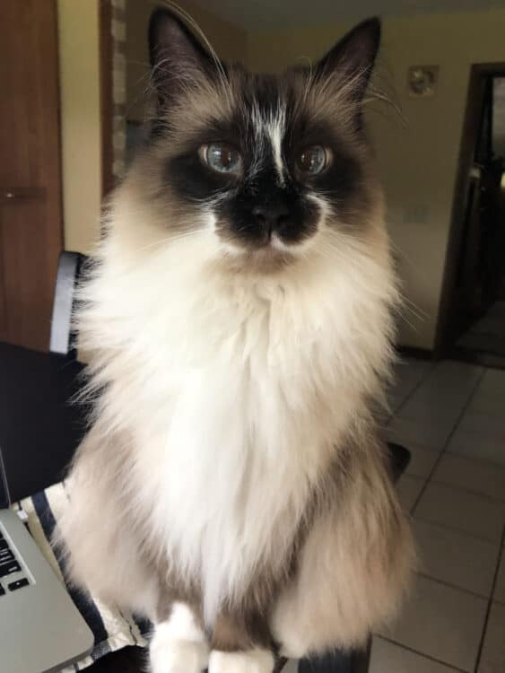 My ragdoll cat named Walter